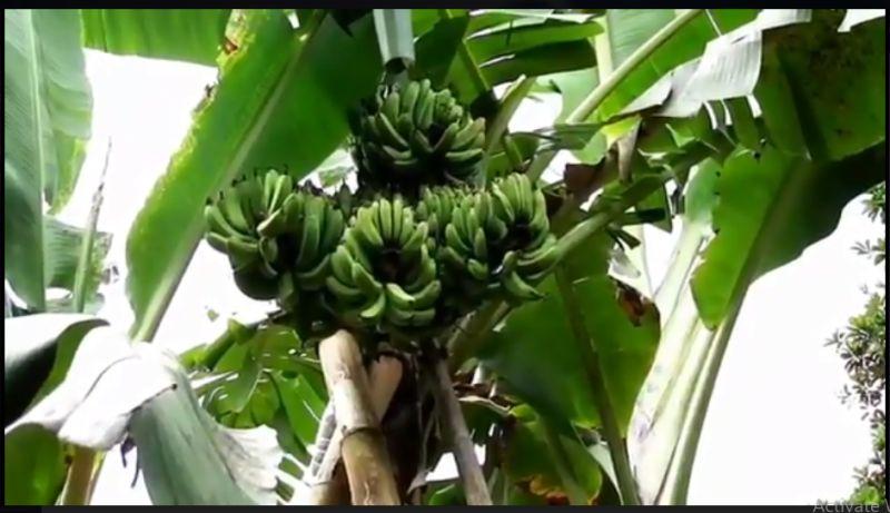 https: img.okezone.com content 2021 01 18 510 2346283 unik-satu-pohon-pisang-dengan-4-tandan-FtW7abW9Ws.jpg