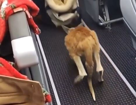 https: img.okezone.com content 2021 01 20 406 2347823 bayi-kanguru-lompat-menyusuri-kabin-pesawat-kosong-netizen-menggemaskan-JMAaevX4Yy.JPG