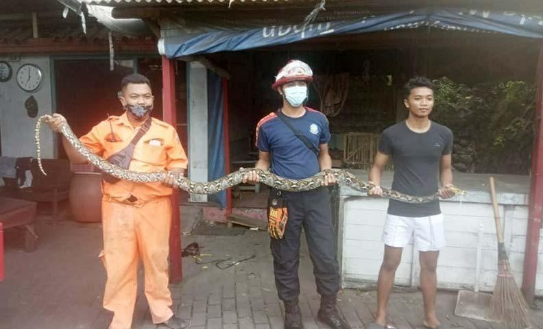 https: img.okezone.com content 2021 02 10 525 2359815 rembang-geger-ular-piton-3-meter-nangkring-di-atap-warung-pasujudan-sunan-bonang-LRhoCVOYTp.jpg