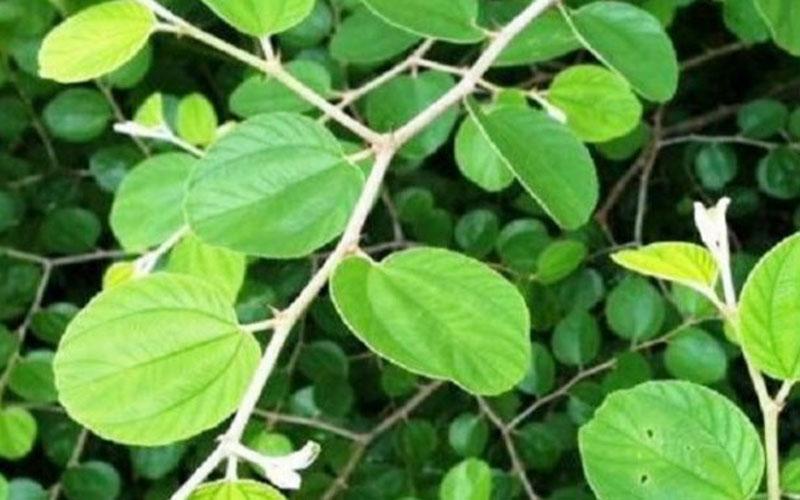 https: img.okezone.com content 2021 02 19 614 2364702 daun-pohon-bidara-berkhasiat-jadi-obat-penangkal-sihir-Yvc4BMti5U.jpg