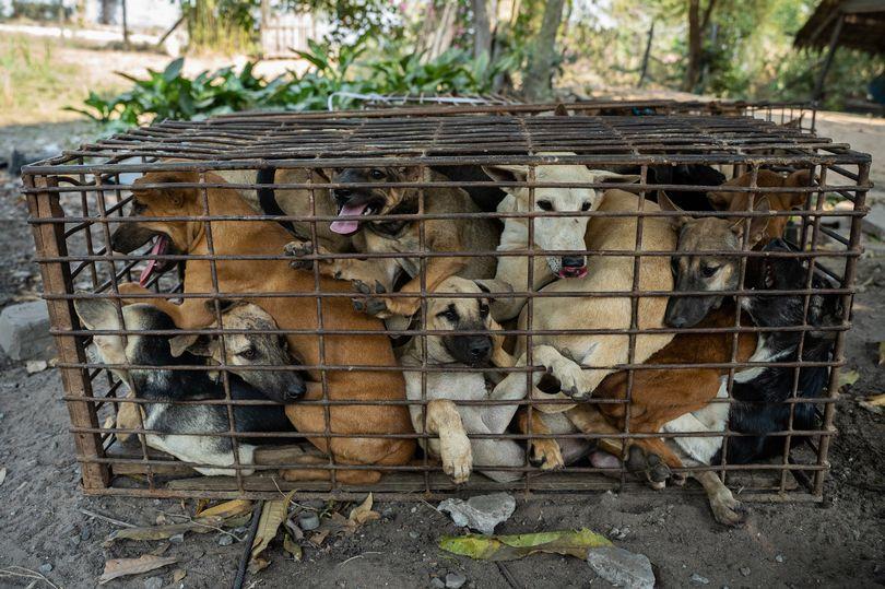 https: img.okezone.com content 2021 02 24 18 2367481 61-anjing-berjejalan-di-dalam-kandang-berhasil-diselamatkan-sebelum-dibawa-ke-tempat-jagal-hewan-jd8CRiybPF.jpg