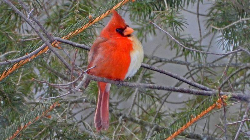 Burung Langka Setengah Jantan Setengah Betina Tertangkap Kamera Okezone News
