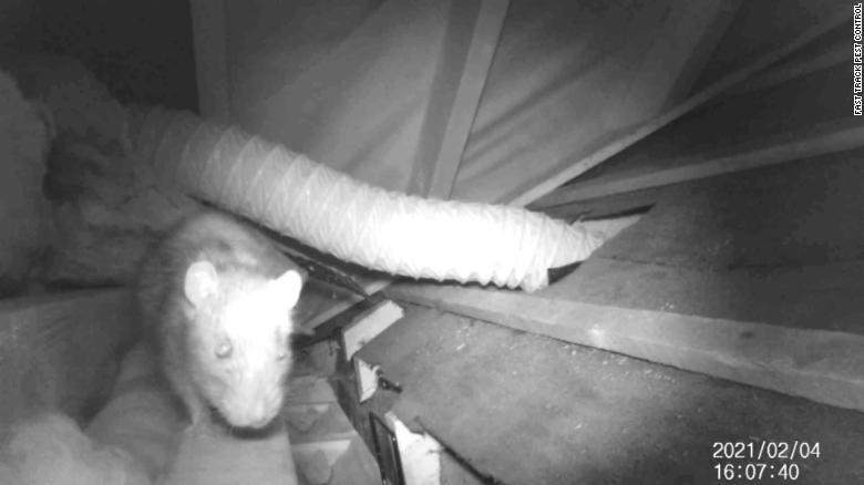 https: img.okezone.com content 2021 02 26 18 2368608 akibat-lockdown-tikus-menguasai-kota-ini-ukurannya-besar-hingga-40-sentimeter-KbhONdi2HA.jpg