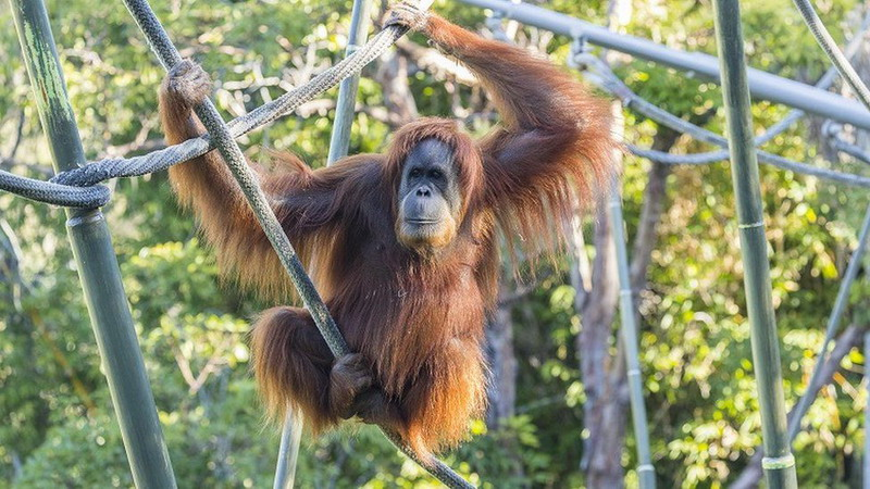 https: img.okezone.com content 2021 03 05 18 2372914 orangutan-di-kebun-binatang-san-diego-disuntik-vaksin-covid-19-q4H9tFeg98.jpg