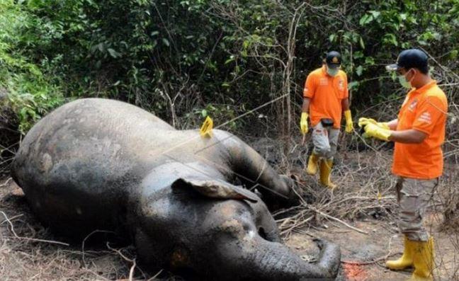 https: img.okezone.com content 2021 03 05 406 2372780 miris-seekor-gajah-liar-ditemukan-mati-di-aceh-jaya-yIAtVMw4lU.JPG