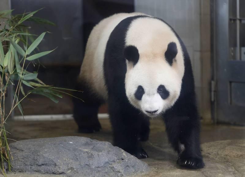 https: img.okezone.com content 2021 03 09 406 2374966 lama-menjomblo-panda-ini-akhirnya-bercinta-dengan-shin-shin-iSXTl40qwX.jpeg