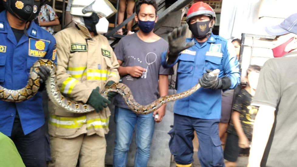 https: img.okezone.com content 2021 03 12 338 2376517 kerap-teror-warga-ular-sanca-2-5-meter-ditangkap-petugas-damkar-yMTtmmU20I.jpg