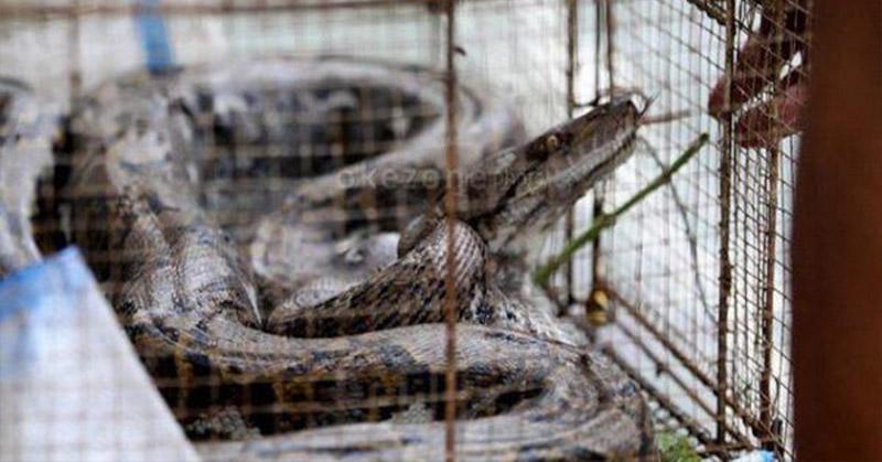 https: img.okezone.com content 2021 03 23 340 2382424 lagi-asyik-mandi-pria-ini-dikagetkan-kemunculan-ular-piton-batik-TlUESWfhRP.jpg
