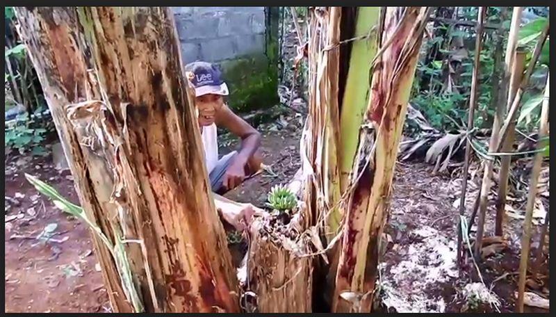 https: img.okezone.com content 2021 03 23 510 2382465 viral-buah-pisang-tumbuh-dari-pohon-yang-mati-aqe81Nkk0l.jpg