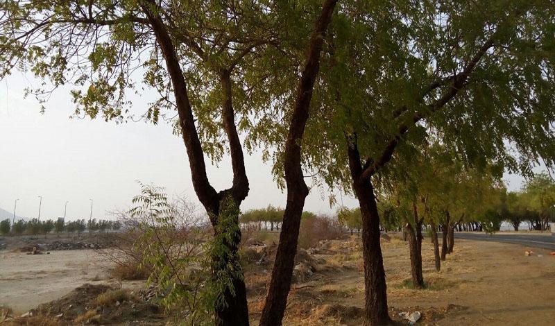 https: img.okezone.com content 2021 03 24 614 2383255 pohon-soekarno-membuat-teduh-arafah-dan-rindangkan-jeddah-XTRdQnhndF.jpg