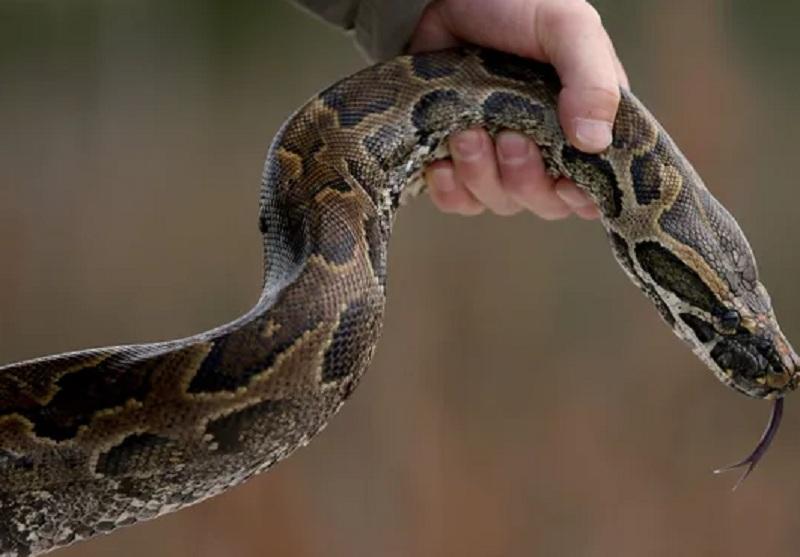 https: img.okezone.com content 2021 03 26 340 2384741 takut-dimangsa-warga-buton-ramai-ramai-bunuh-ular-piton-6-meter-JskheGj0Kn.JPG
