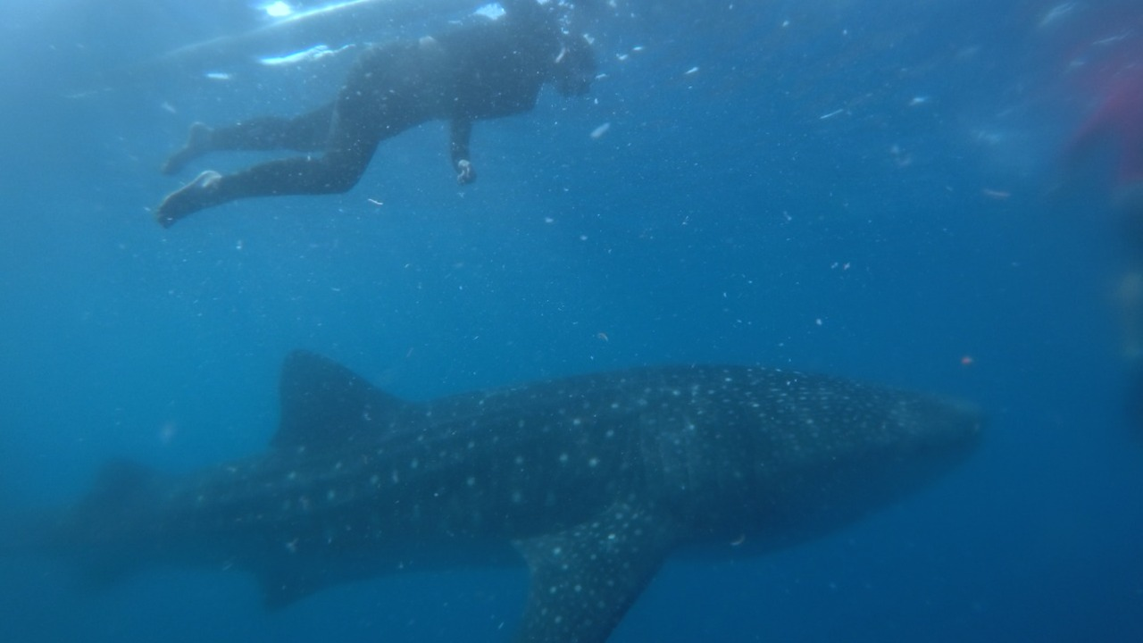 https: img.okezone.com content 2021 03 26 408 2384339 wisata-hiu-paus-di-bone-bolango-berenang-seru-bersama-the-gentle-giant-zAHFGwunIv.jpg
