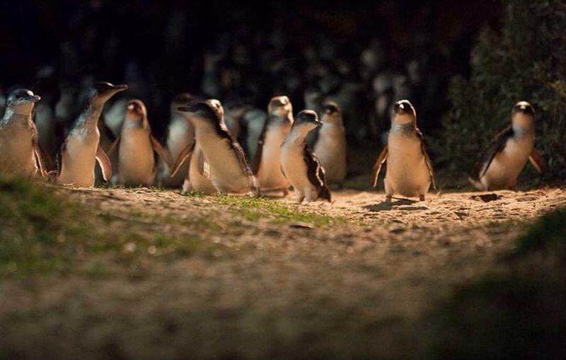 https: img.okezone.com content 2021 03 26 408 2384762 menengok-kerajaan-penguin-terkecil-di-dunia-gemas-deh-l57qA9pDuD.jpg