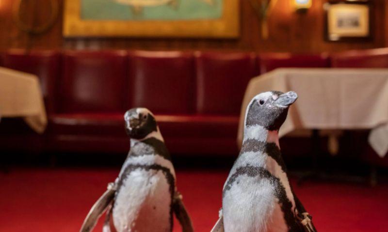 https: img.okezone.com content 2021 03 30 406 2386411 dukung-pengurangan-polusi-plastik-3-penguin-ini-kunjungi-restoran-0ke9ZFCsng.jpg