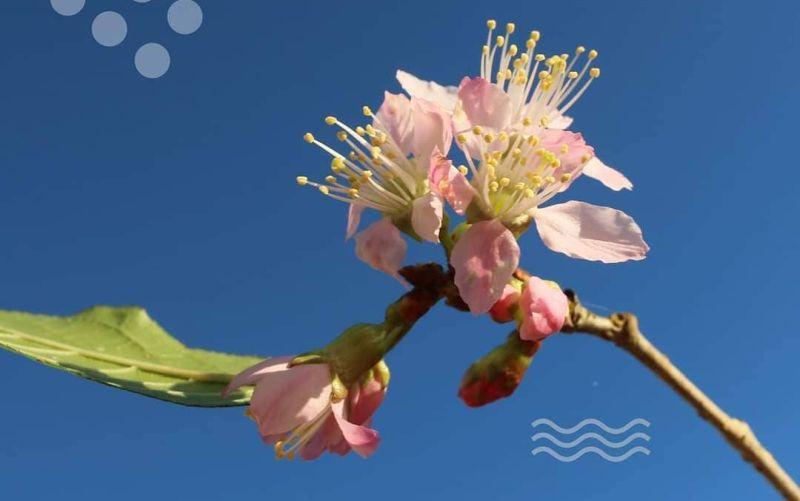 https: img.okezone.com content 2021 03 30 408 2386769 wah-kini-kebun-raya-cibodas-punya-bunga-sakura-loh-hMGRnOh0Gm.jpg