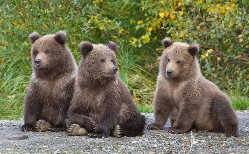https: img.okezone.com content 2021 04 08 612 2391342 fenomena-beruang-ramah-layaknya-anjing-makin-marak-ini-kata-peneliti-rzSwhuYy0D.jpg