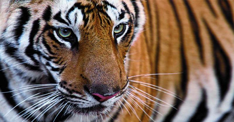 https: img.okezone.com content 2021 04 12 340 2393012 3-harimau-sumatera-berkeliaran-2-ekor-kambing-mati-diduga-dimangsa-wsmwpFJGZy.jpg