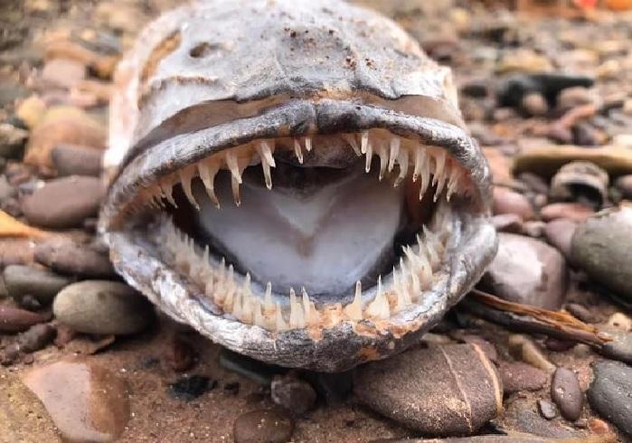 https: img.okezone.com content 2021 04 15 18 2395173 makhluk-laut-misterius-dengan-gigi-setajam-silet-dan-lidah-yang-besar-ditemukan-terdampar-di-pantai-7DunFPcs9j.jpg