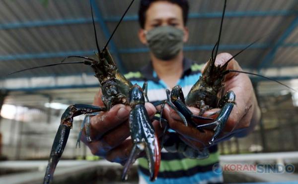 https: img.okezone.com content 2021 04 15 320 2395205 vietnam-jadi-pengekspor-lobster-terbesar-kkp-itu-benihnya-dari-kita-v9uMeu1pVV.jpg