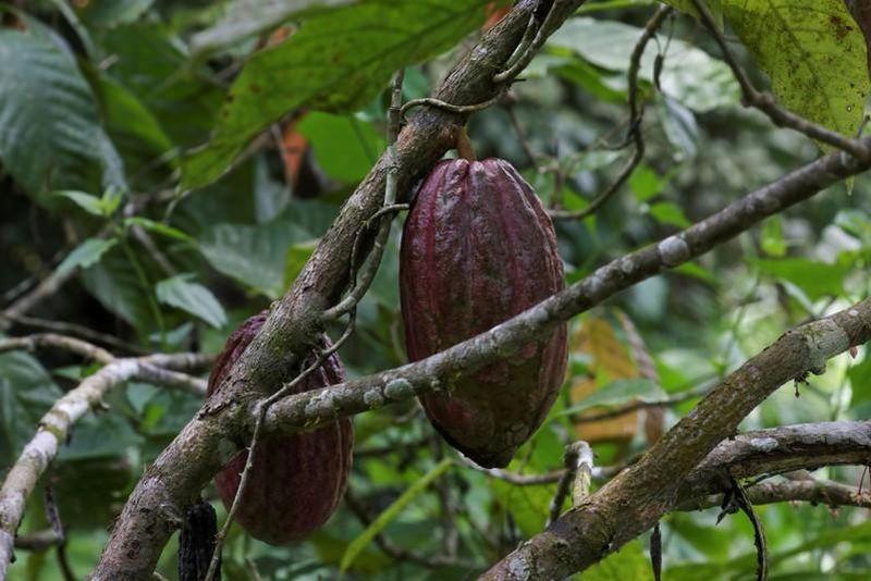 https: img.okezone.com content 2021 04 24 455 2400033 petani-lihat-peluang-industri-cokelat-ri-bakal-meroket-3-5-tahun-lagi-MirpYJ74oa.jpg