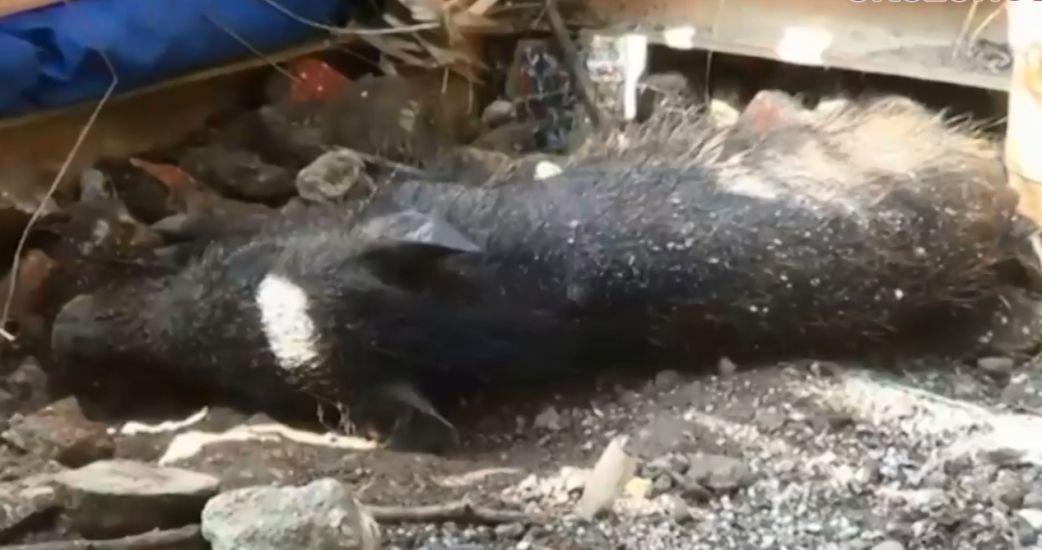 https: img.okezone.com content 2021 04 28 338 2402227 benarkah-ada-babi-ngepet-di-depok-polisi-itu-babi-hutan-biasa-8DdUaKhI5O.jpg