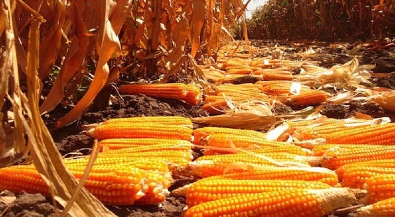https: img.okezone.com content 2021 04 29 320 2402804 peternak-minta-impor-jagung-ini-alasannya-6jwiyzz8ku.jpg