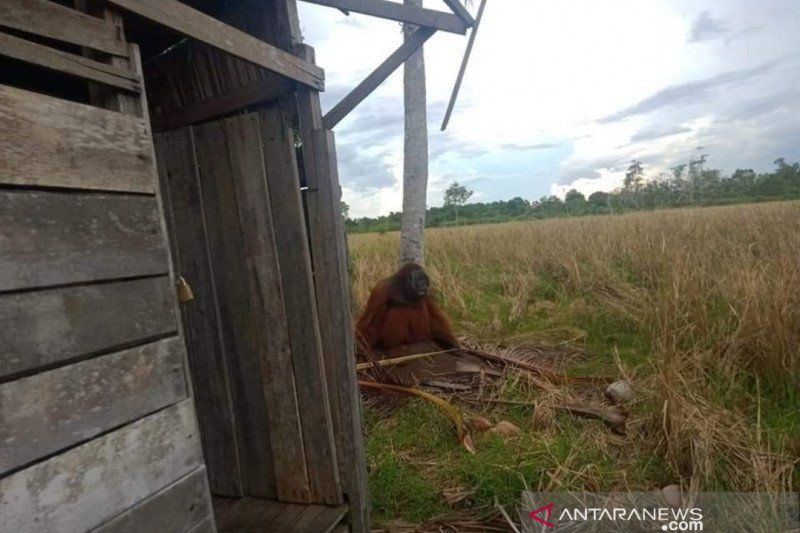 https: img.okezone.com content 2021 04 30 340 2403634 orangutan-masuk-perkampungan-warga-dan-rusak-pohon-kelapa-vdhkMFC4mB.jpg