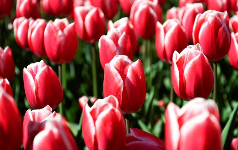 https: img.okezone.com content 2021 05 02 406 2404395 so-sad-wisatawan-tak-bisa-melihat-indahnya-tulip-mekar-di-taman-bunga-keukenhof-Ha8f5S3nv3.jpg