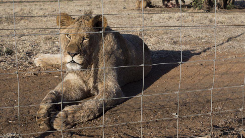 https: img.okezone.com content 2021 05 03 18 2404546 afrika-selatan-larang-pembiakan-singa-agar-wisatawan-bisa-membelai-anaknya-RG7LI3OVfO.jpg