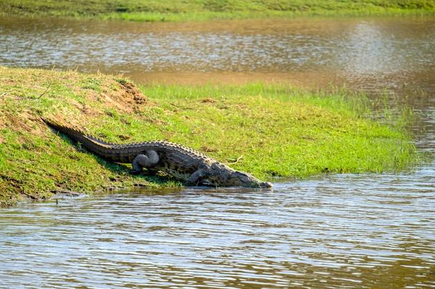 https: img.okezone.com content 2021 05 05 612 2406269 lindungi-diri-dari-musuh-aligator-ternyata-bisa-memutus-ekornya-Sq5tveOSmF.jpg