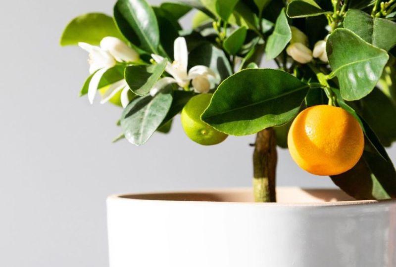 https: img.okezone.com content 2021 05 16 470 2410704 3-jenis-jeruk-yang-cocok-ditanam-di-pekarangan-rumah-m9RdtAKdYB.jpg