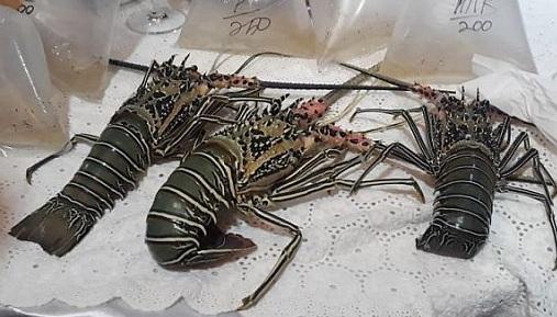 https: img.okezone.com content 2021 06 17 320 2426931 sah-ekspor-benih-lobster-resmi-dilarang-SnIlpkT9A9.jpg