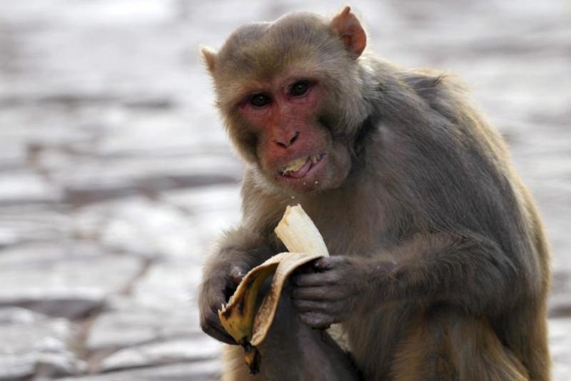 https: img.okezone.com content 2021 06 19 338 2427681 teror-warga-berbulan-bulan-2-monyet-liar-akhirnya-berhasil-ditangkap-rbY9Fo2sSL.jpg