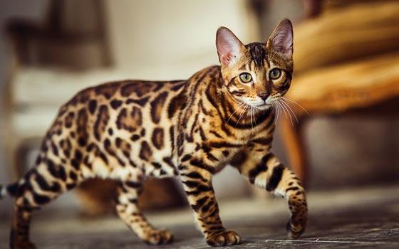 https: img.okezone.com content 2021 06 19 608 2427671 nekat-curi-kucing-bengal-seharga-puluhan-juta-pria-paruh-baya-ditangkap-polisi-cc1vznxMyF.jpg