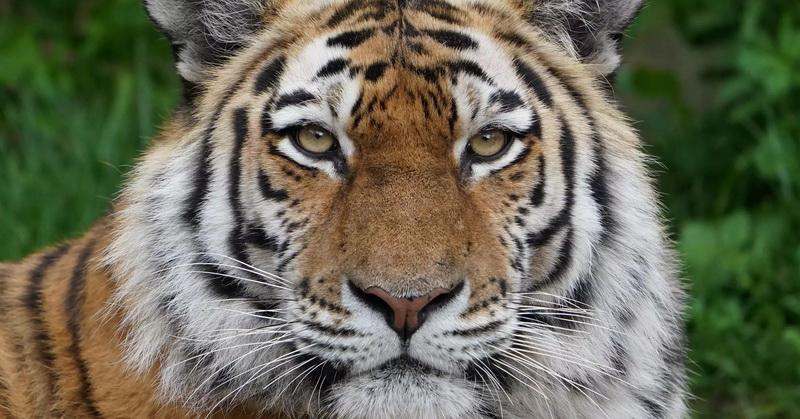 https: img.okezone.com content 2021 06 21 406 2428308 penjaga-kebun-binatang-tewas-diterkam-harimau-siberia-ubZbehb9HT.jpg