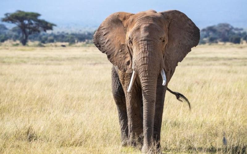 https: img.okezone.com content 2021 06 21 612 2428456 kisah-pilu-gajah-tempuh-25-km-untuk-hadiri-pemakaman-sahabat-manusianya-WQD68ErRjm.jpg