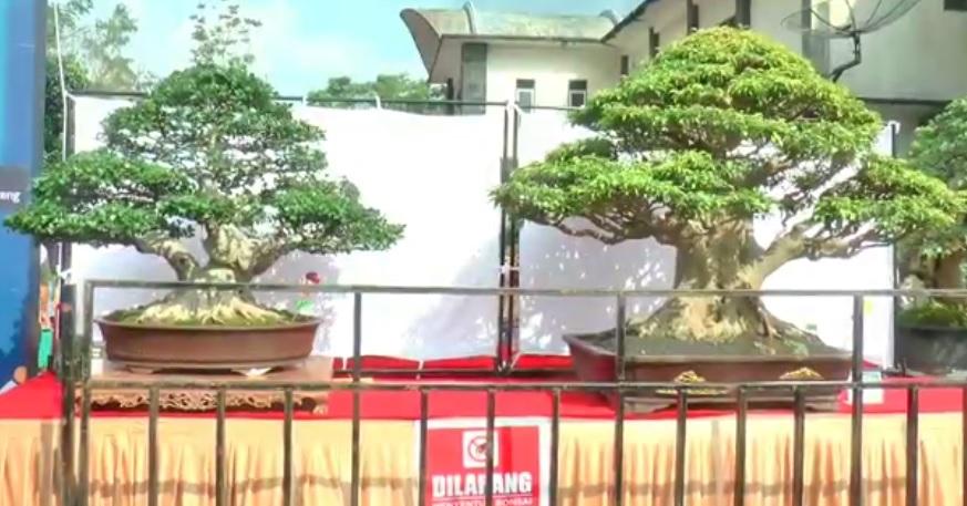 https: img.okezone.com content 2021 06 22 455 2429124 wow-ada-bonsai-sultan-harganya-setengah-miliar-rupiah-9GJF3nezxS.jpg