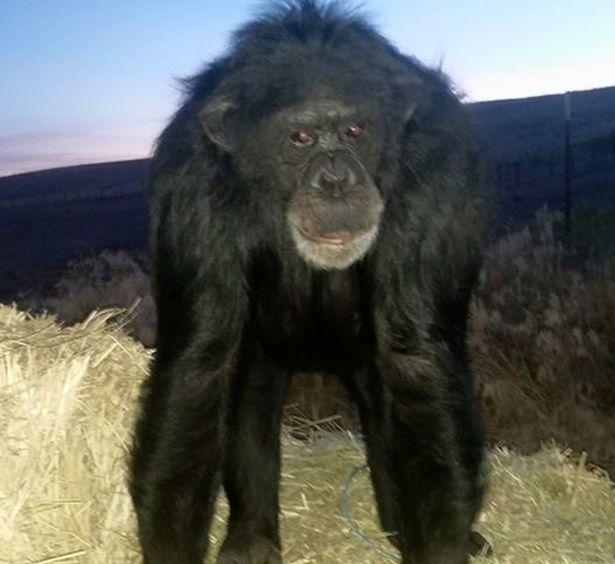 https: img.okezone.com content 2021 06 23 18 2429553 simpanse-ditembak-mati-usai-menyerang-anak-pemiliknya-ze6azcTvaV.jpg