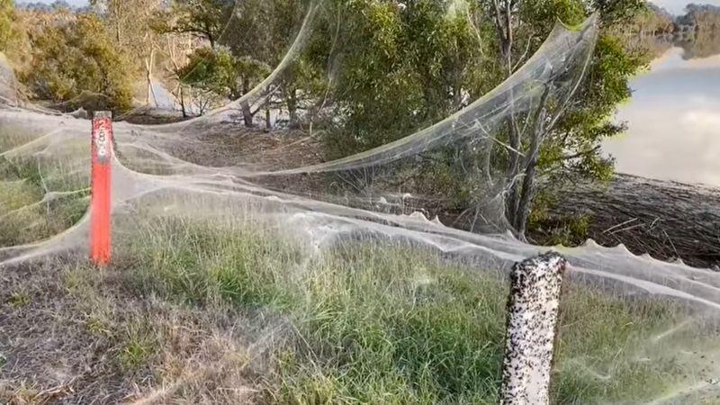 https: img.okezone.com content 2021 06 24 18 2430071 jutaan-laba-laba-tebarkan-jaring-seluas-1-kilometer-setelah-banjir-bandang-di-australia-N3oiZPsDMq.jpg