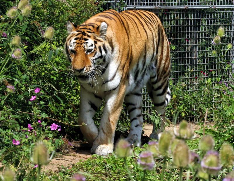 https: img.okezone.com content 2021 06 27 340 2431656 masuk-perkampungan-harimau-sumatera-terkam-2-ekor-kambing-ternak-warga-UYEmDtEvUY.jpg
