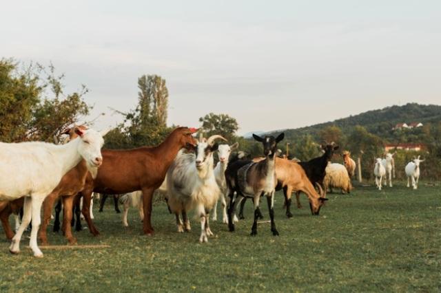 https: img.okezone.com content 2021 06 28 330 2431997 apakah-boleh-patungan-hewan-kurban-kambing-atau-domba-0ekITW67a6.jpg