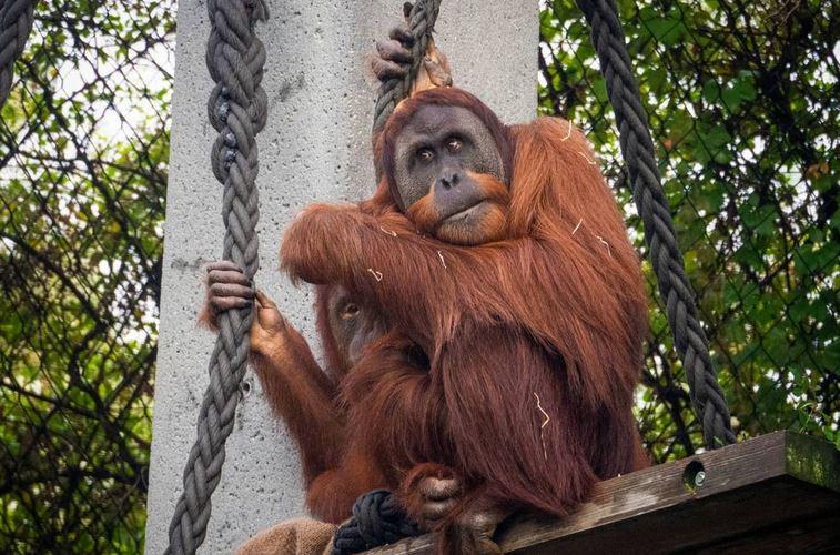 https: img.okezone.com content 2021 07 03 406 2435069 kelaparan-orangutan-nyelonong-ke-perkampungan-warga-hingga-tempat-wisata-YEKgUSmqVz.JPG