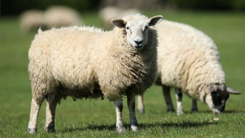 https: img.okezone.com content 2021 07 08 18 2437247 biarkan-ratusan-domba-sakit-226-ekor-disuntik-mati-peternak-ini-dihukum-tahanan-rumah-jgizLg76Qx.jpg