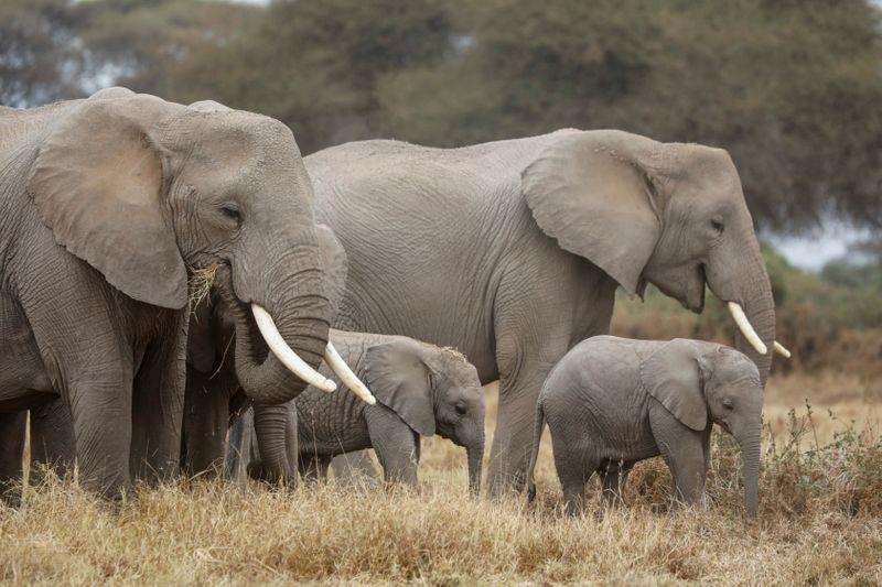 https: img.okezone.com content 2021 07 08 406 2437249 kawanan-gajah-inggris-diterbangkan-ke-habitat-barunya-di-kenya-CHxRTfuBOu.jpg
