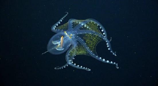https: img.okezone.com content 2021 07 12 56 2439578 memukau-ini-penampakan-gurita-kaca-langka-di-laut-dalam-5umIzwUs5k.jpg