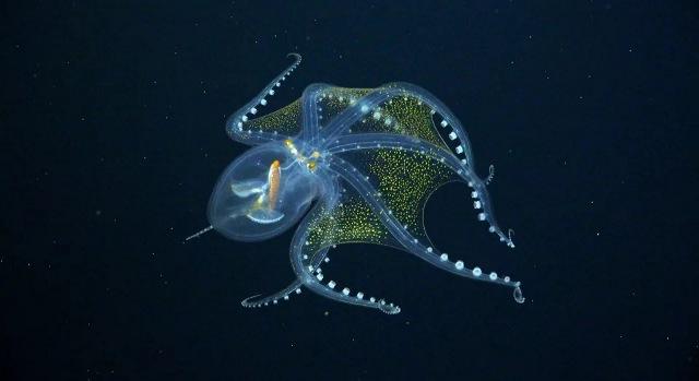 https: img.okezone.com content 2021 07 12 612 2439628 gurita-kaca-langka-tertangkap-kamera-ekspedisi-laut-dalam-di-samudera-pasifik-jrfzNr1X2s.jpg