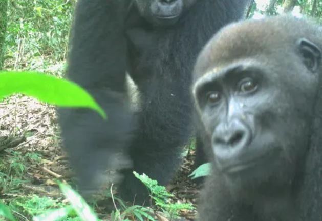 https: img.okezone.com content 2021 07 14 406 2440648 gorila-terlangka-di-dunia-terekam-kamera-jumlahnya-tersisa-300-ekor-bPhf9SDcgM.JPG