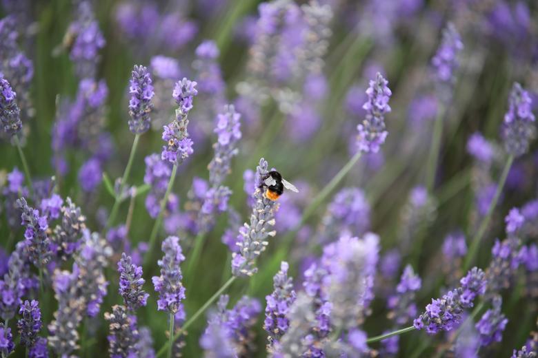 https: img.okezone.com content 2021 07 22 408 2444609 asyiknya-piknik-ke-taman-lavender-hamparan-ungu-cantik-menyejukkan-mata-OdB2gmYKTz.jpg