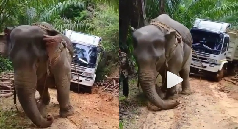 https: img.okezone.com content 2021 07 23 612 2444966 viral-gajah-tarik-truk-terjebak-di-jalan-berlumpur-bikin-ngelus-dada-gm2rdLbxTi.jpg