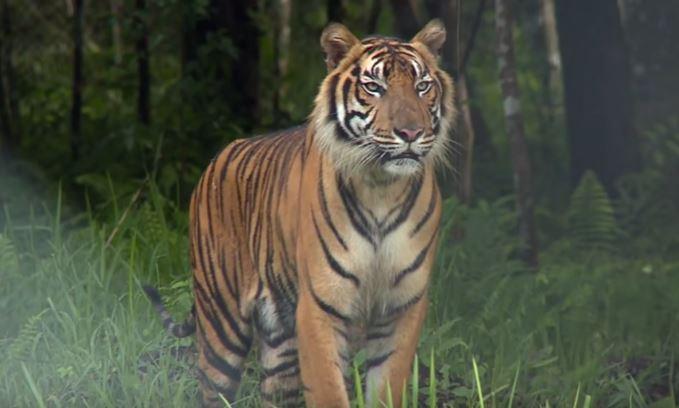 https: img.okezone.com content 2021 08 01 338 2449111 sempat-terinfeksi-covid-19-2-harimau-sumatera-di-ragunan-dinyatakan-telah-sehat-NKuTJzhtJT.jpg